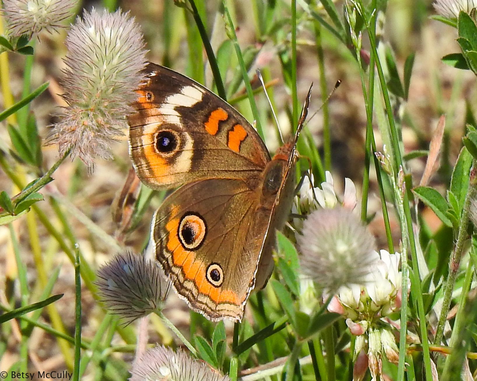 Photo of Common Buckeye