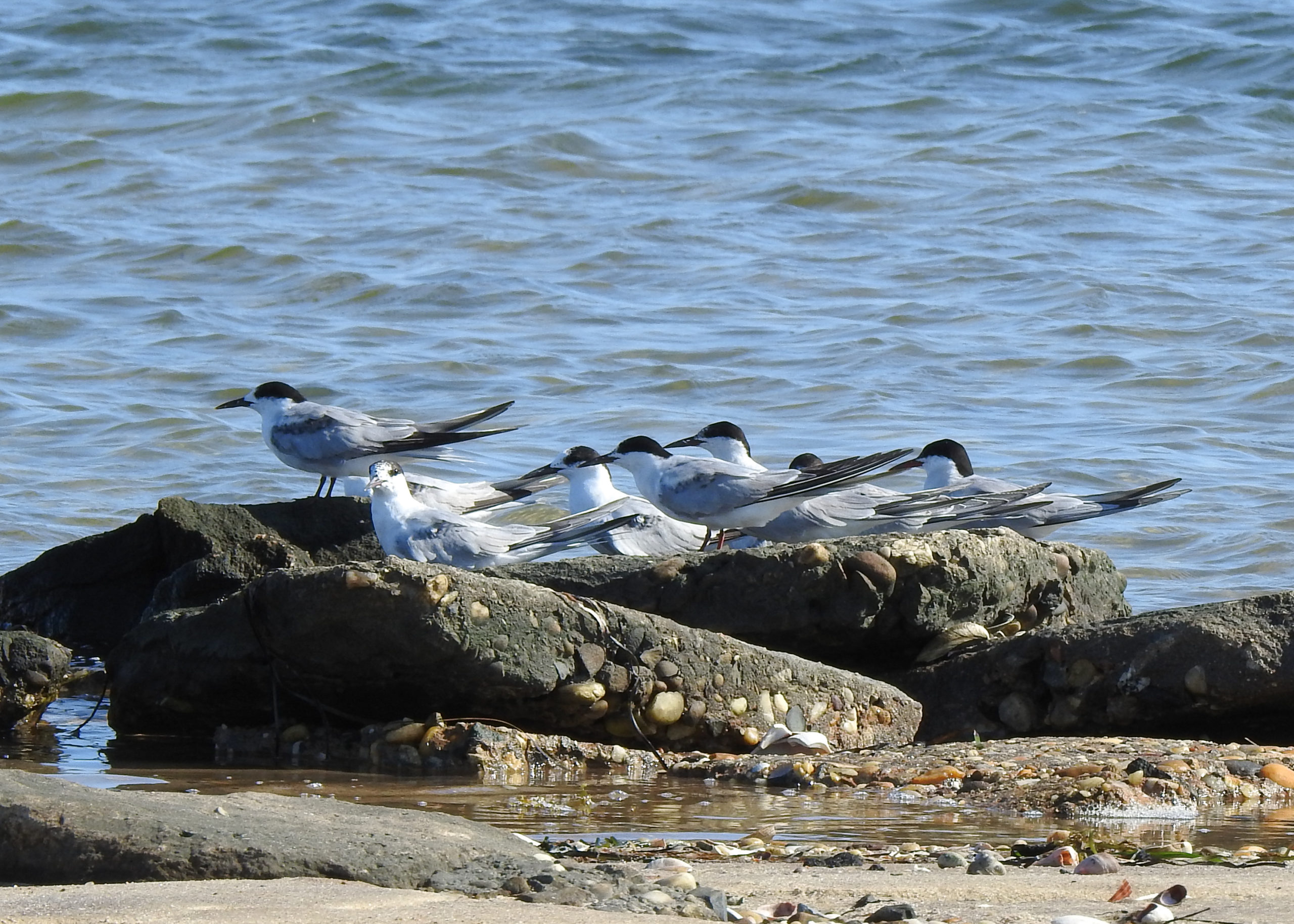 Photo of Common Terns