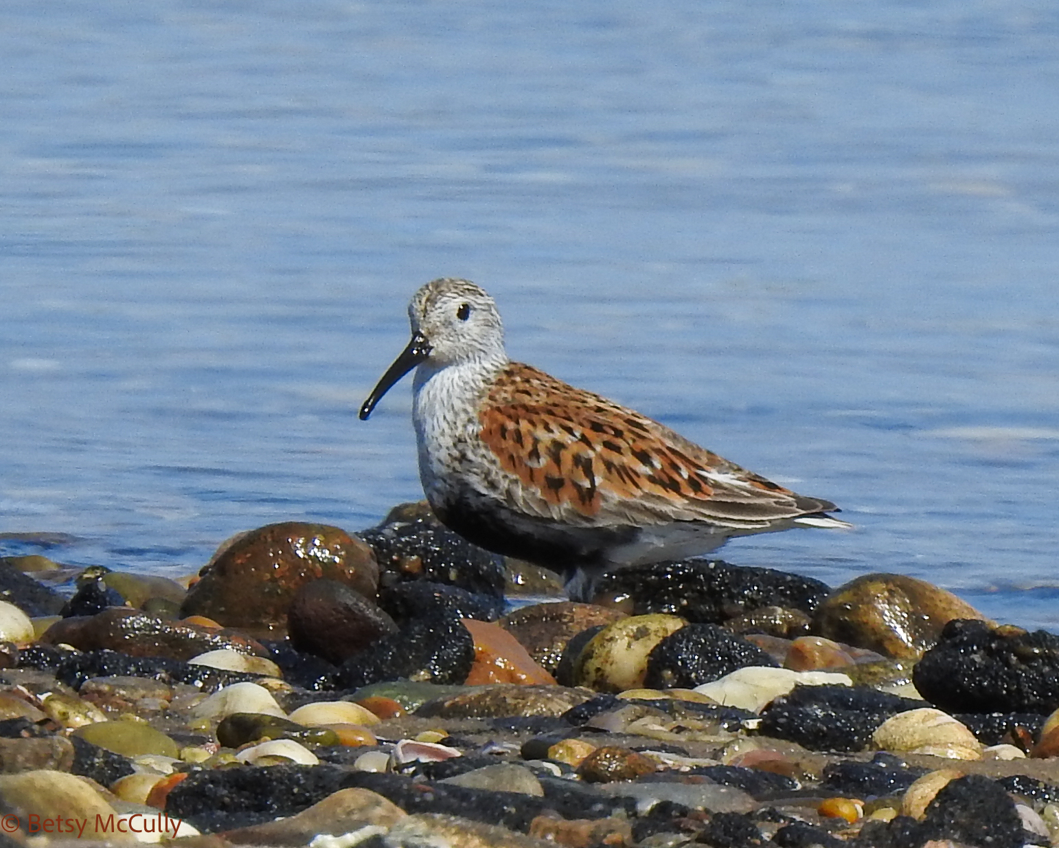 photo of adult dunlin