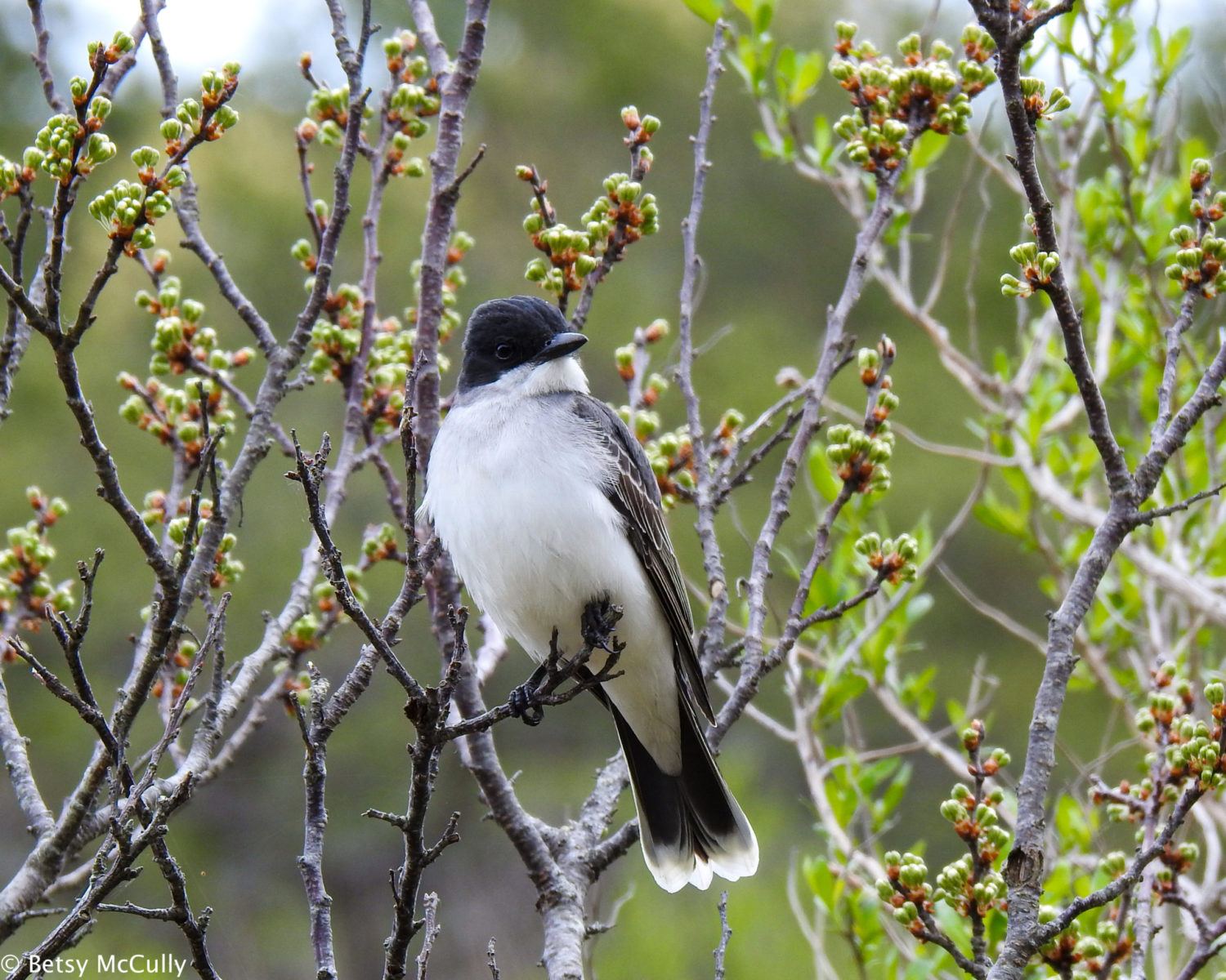 photo of Eastern Kingbird perched