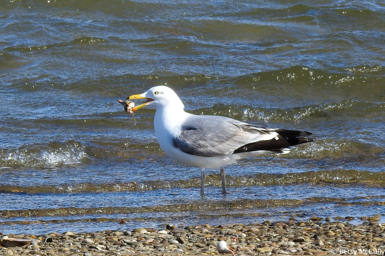 photo of adult Herring Gull