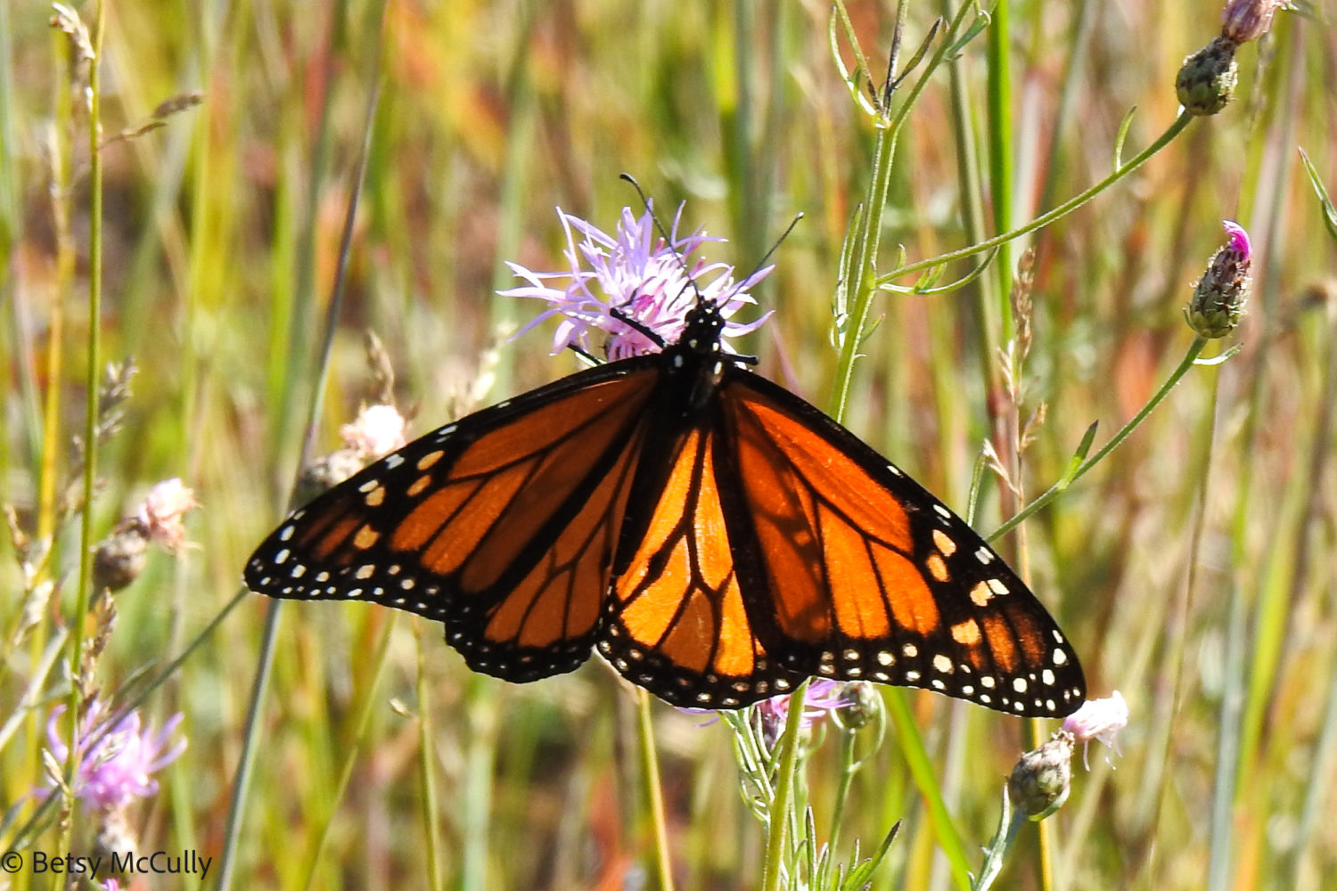 photo of monarch in knapweed