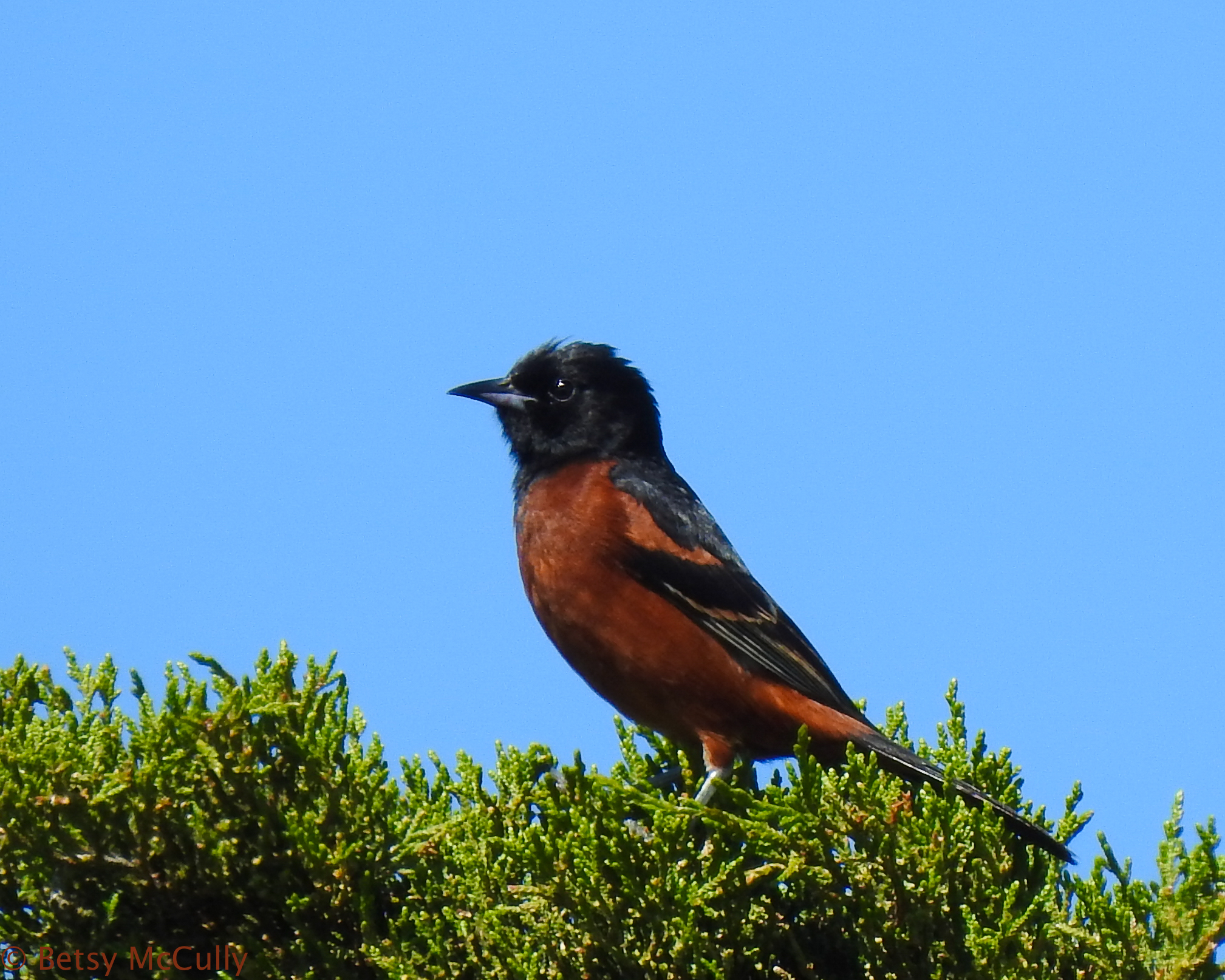 photo of male orchard oriole