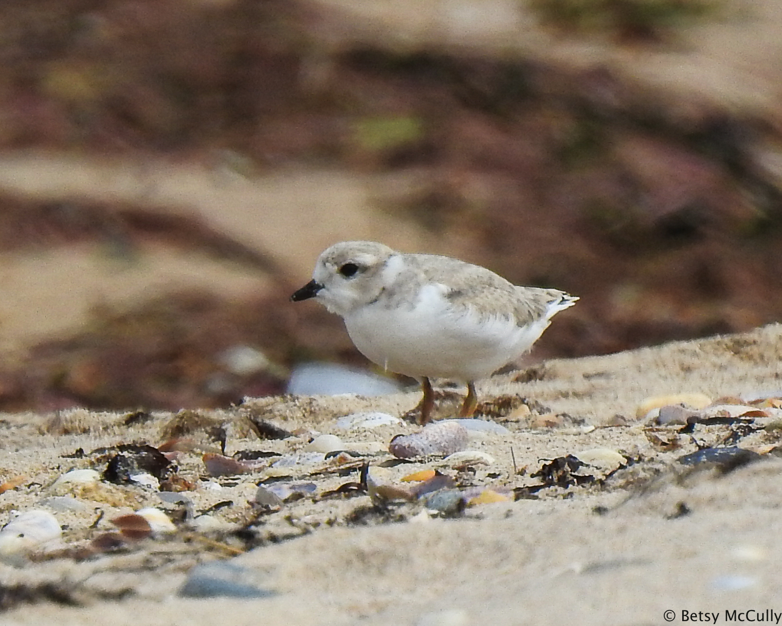 photo of Piping Plover juvenile