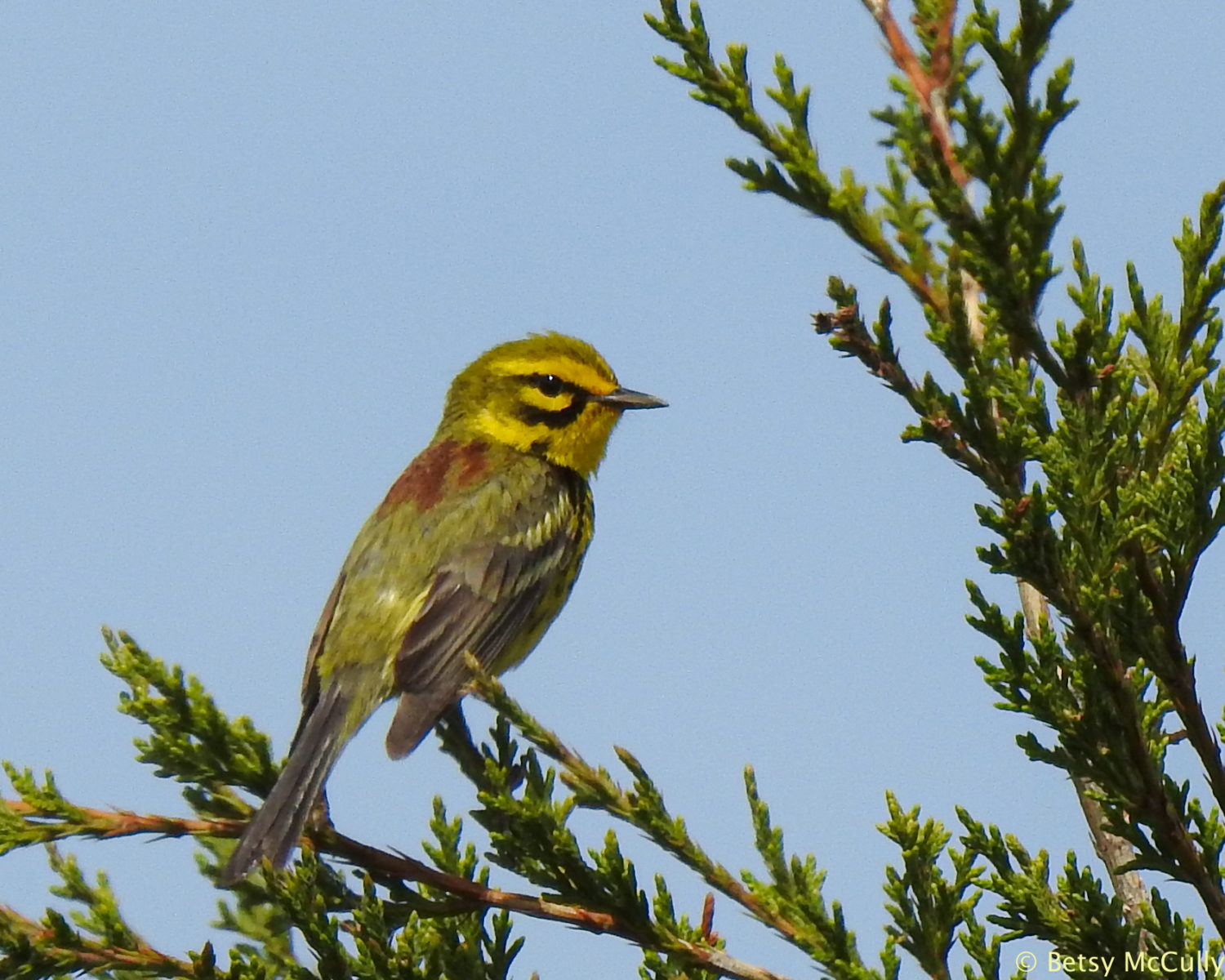 photo of prairie warbler perched