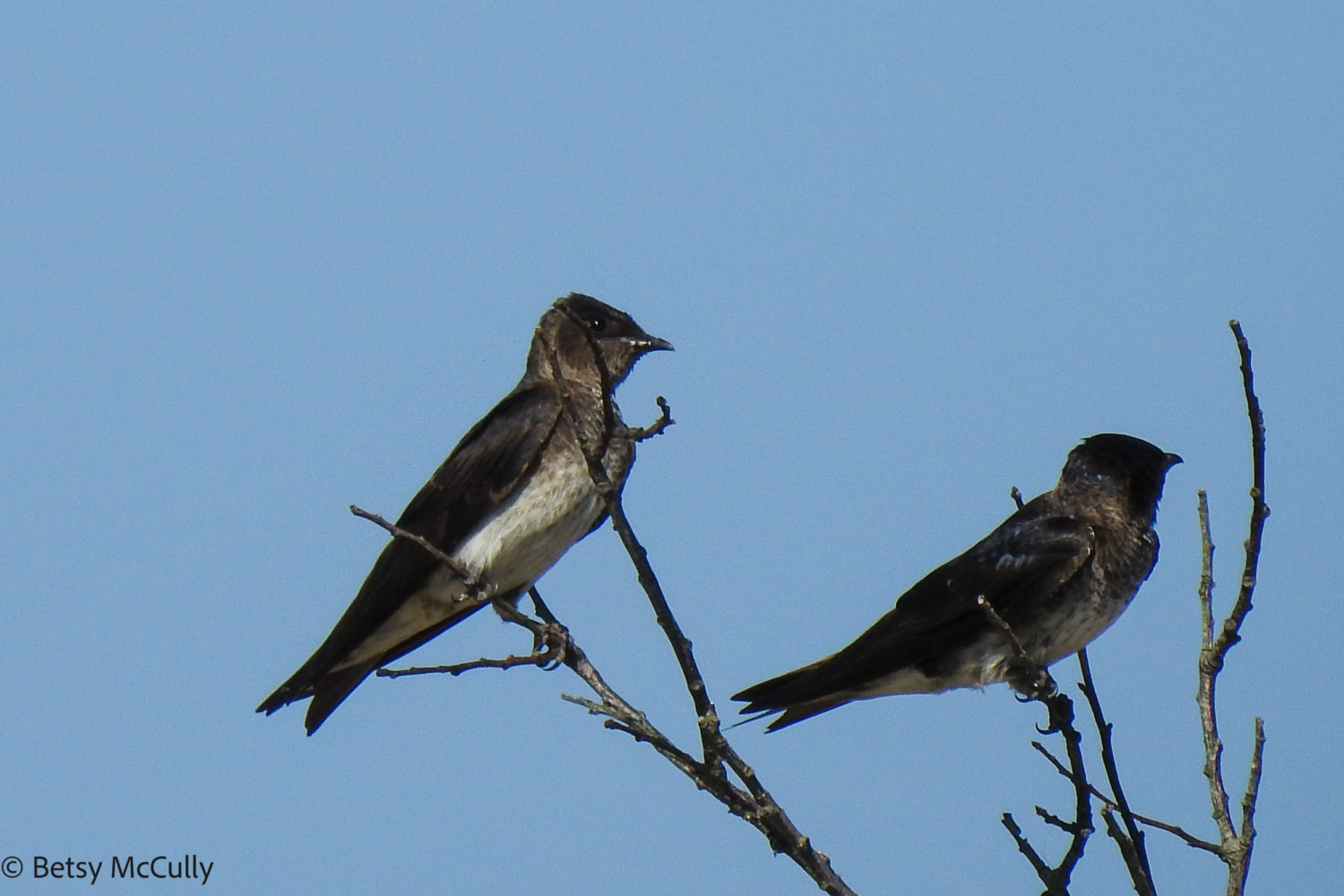photo of purple martins perched