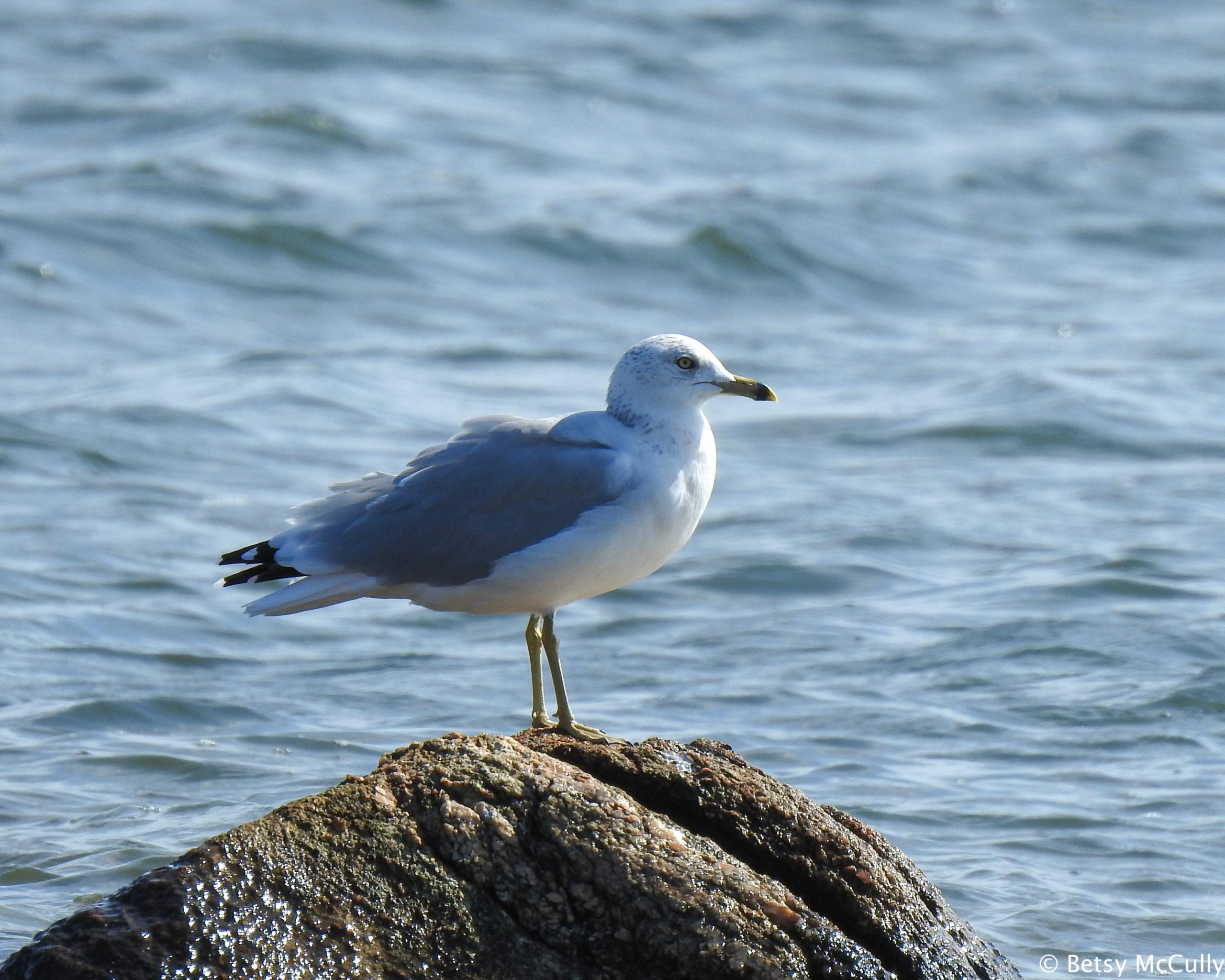 Photo of Ring-billed Gull