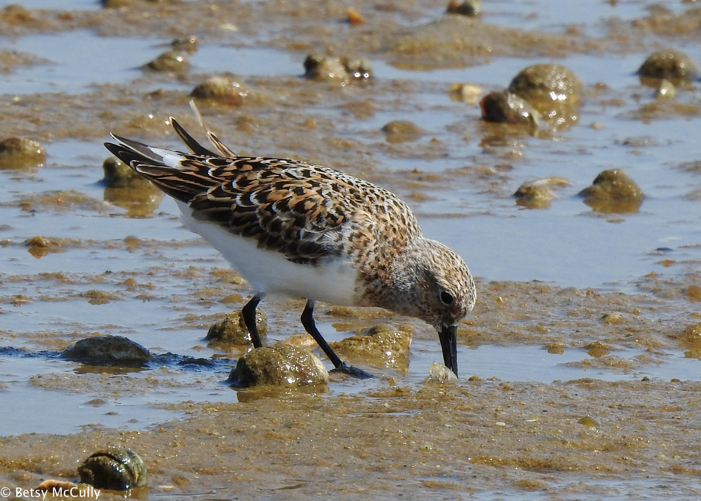 photo of sanderling adult