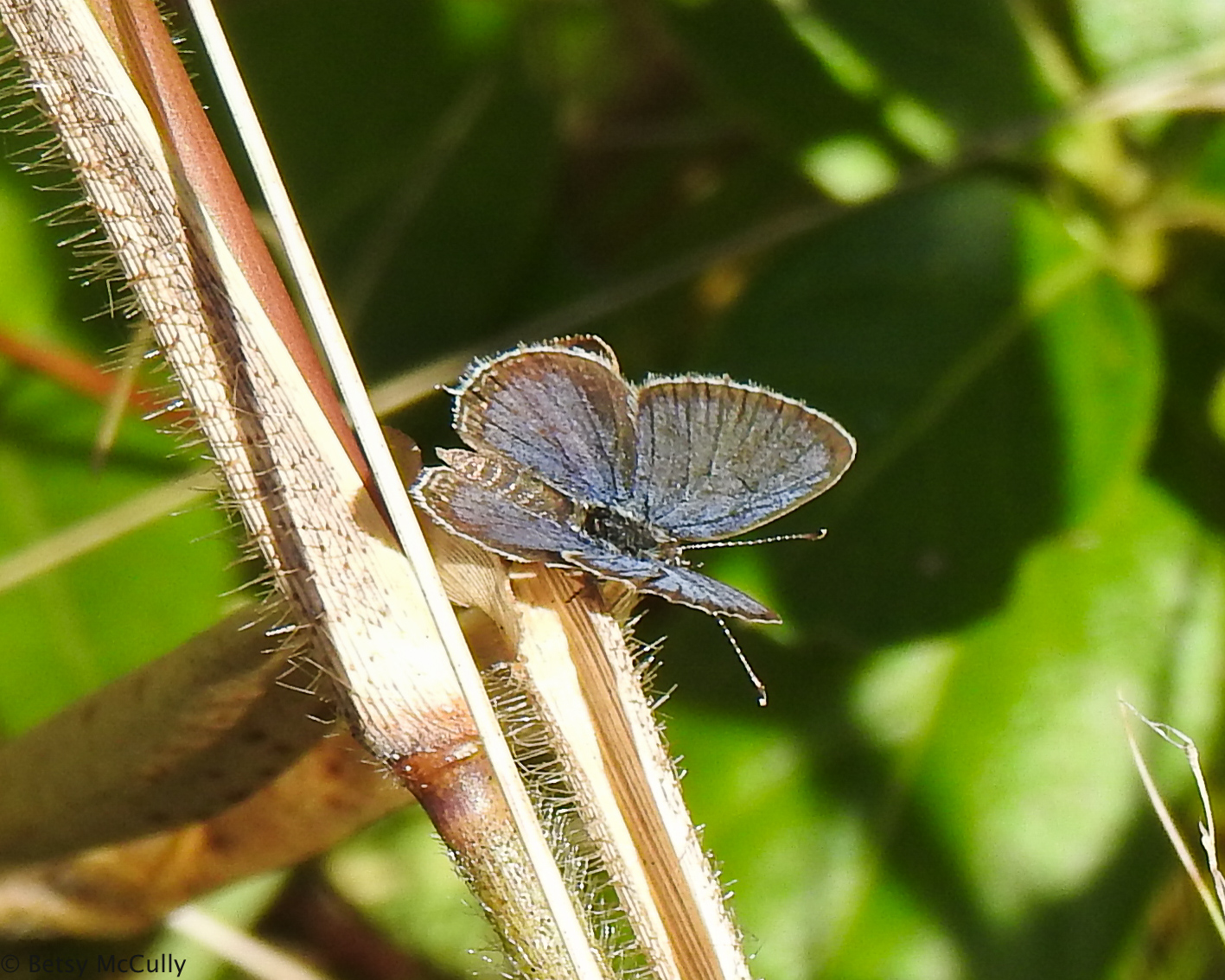 Photo of Eastern Tailed Blue