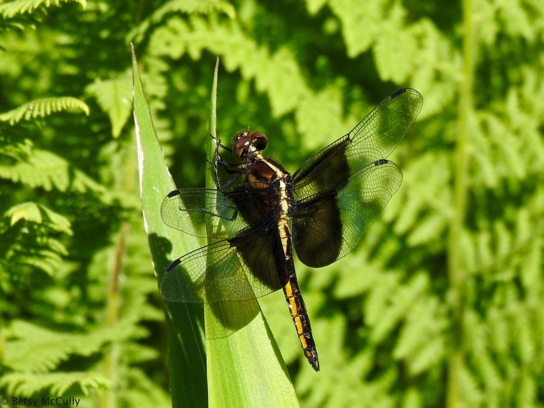 Photo of Widow Skimmer female